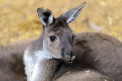 Bagna Wallaby Fotografia Royalty Free