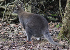 Bagna Wallaby obrazy royalty free