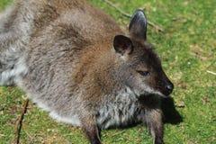 Bagna Wallaby obraz stock