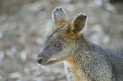 Bagna Wallaby zdjęcie royalty free
