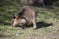Bagna wallaby joey zdjęcie stock