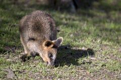 Bagna wallaby joey fotografia royalty free