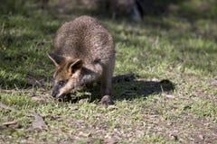 Bagna wallaby joey zdjęcie royalty free