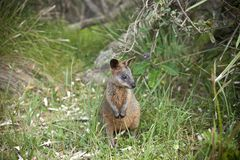 Bagna Wallaby kangur Australia Obraz Royalty Free