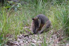 Bagna wallaby obsiadanie w Australijskim krzaku zdjęcia royalty free