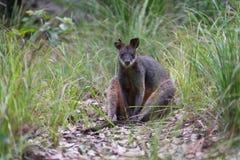 Bagna wallaby obsiadanie w Australijskim krzaku zdjęcie royalty free
