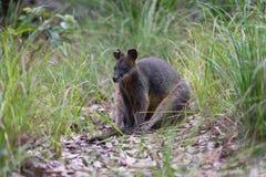 Bagna wallaby obsiadanie w Australijskim krzaku fotografia stock