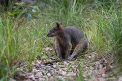 Bagna wallaby obsiadanie w Australijskim krzaku obraz stock