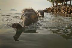 Bagnando due elefanti nel mare Immagini Stock