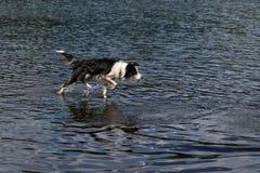 Bagni del cane di border collie sul lago Fotografia Stock