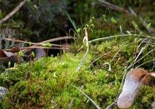 Bagni il comune verde di Polytrichum del muschio, il haircap comune, grande ginco dorato Primo piano floreale di macro del fondo fotografie stock libere da diritti