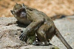 Bagni la scimmia Fotografia Stock