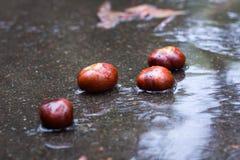 Bagni le castagne marroni in foresta pluviale autunnale su asfalto Fotografia Stock Libera da Diritti