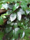 Bagni le foglie dopo la pioggia Fotografia Stock Libera da Diritti