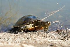 Bagno żółw Fotografia Royalty Free