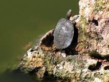 Sunning bagno żółwia Obraz Royalty Free