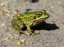 Bagno żaby zbliżenie Obrazy Royalty Free