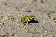 Bagno żaba Zdjęcia Royalty Free