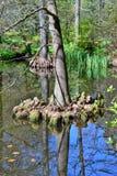 Bagno cyprys Taxodium distichum fotografia royalty free