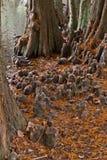 Bagno cyprysu Taxodium Distichum ` kolan ` Zdjęcie Stock