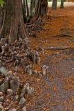 Bagno cyprysu Taxodium Distichum ` kolan ` Obraz Stock