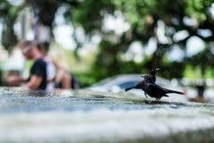 Bagno degli uccelli Immagini Stock Libere da Diritti