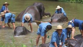 Bagno dei Mahouts i loro elefanti stock footage