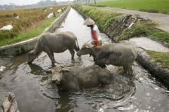 Bagno del bufalo Fotografie Stock Libere da Diritti