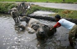 Bagno del bufalo Fotografia Stock Libera da Diritti