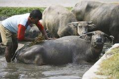 Bagno del bufalo Immagine Stock