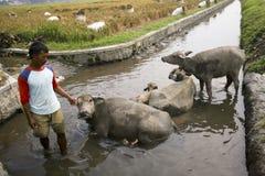 Bagno del bufalo Immagini Stock Libere da Diritti