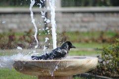 Bagno del corvo Fotografia Stock Libera da Diritti