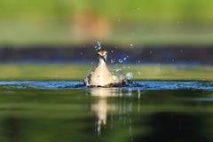 Bagno del glareola del Tringa del piro piro boschereccio Fotografia Stock