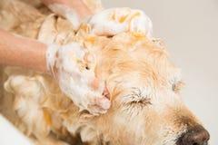 Bagno del golden retriever del cane immagini stock libere da diritti