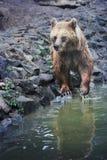 Bagno dell'orso bruno Fotografie Stock