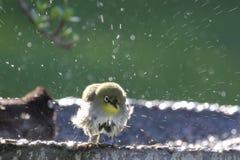 Bagno dell'uccello Fotografie Stock Libere da Diritti
