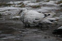 Bagno della presa del piccione fotografia stock