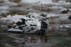 Bagno della presa del piccione fotografie stock