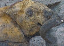Bagno di fango dell'elefante Immagine Stock Libera da Diritti