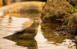 Bagno di Reed Warbler del eurasian Immagini Stock