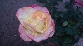 Bagno 2 di Rosa Immagini Stock Libere da Diritti