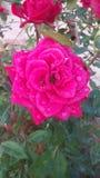 Bagno di Rosa Immagini Stock Libere da Diritti