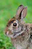 Bagno królik, bagno zając, (Sylvilagus aquaticus), Fotografia Stock