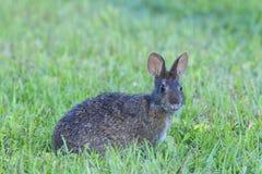 Bagno królik jest głębokim trawą, profilowy widok, patrzeje bezpośrednio przy vi Zdjęcie Stock