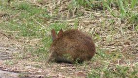 Bagno królik karmi na trawie zbiory