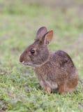 Bagno królik w głębokiej trawie, portret w profilowym widoku Obraz Stock
