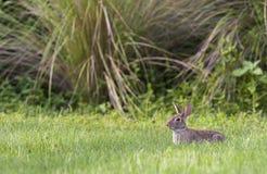 Bagno królik w głębokiej trawie z środowiskiem w tle Zdjęcia Stock