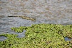 Bagno krokodyl - Crocodylus palustris, Sri Lanka obraz stock