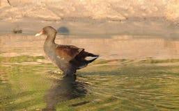 Bagno kurczak 3-4 miesięcy starych Fotografia Stock