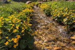 Bagno nagietka kwiaty Zdjęcia Royalty Free